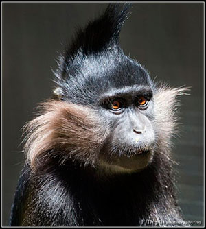 life4beard.ru monkey-mutton-chops, mutton chops, виды бороды, типы бороды, стили бороды, бараньи отбивные, борода, как стричь бороду