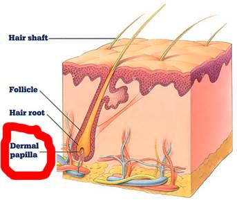 сосочек-сосок-dermal-papillae-фолликула-волоса-бороды